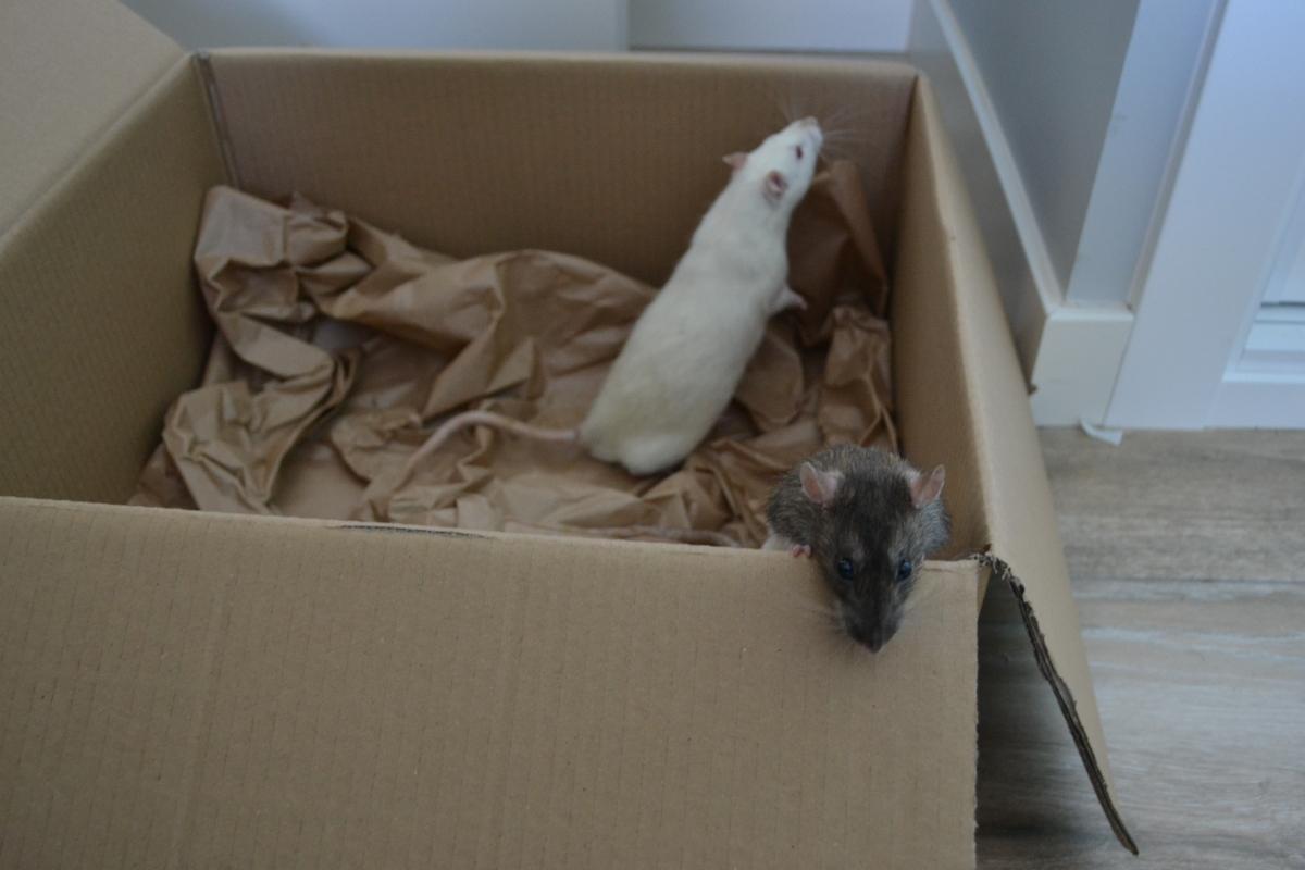 5 tips para cuidar de ratas